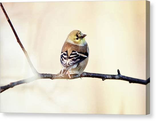 Canvas Print featuring the photograph American Goldfinch by Sue Collura