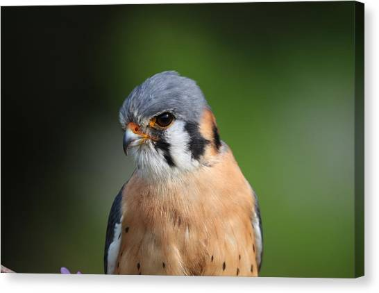 American Kestrel 5151801 Canvas Print
