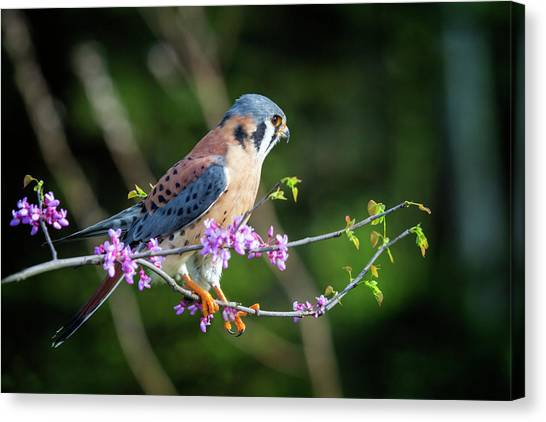 American Kestrel 5151804 Canvas Print