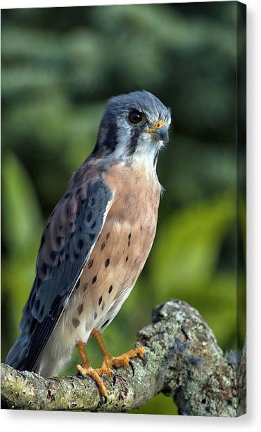 American Kestrel 9251501 Canvas Print