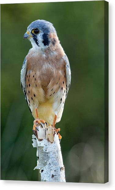 American Kestrel 9251502 Canvas Print