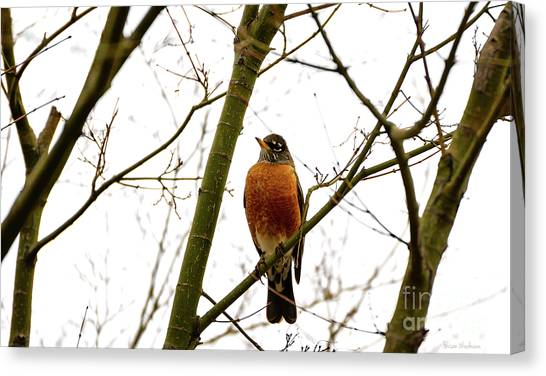 American Robin Perching In A Wintertime Tree Canvas Print
