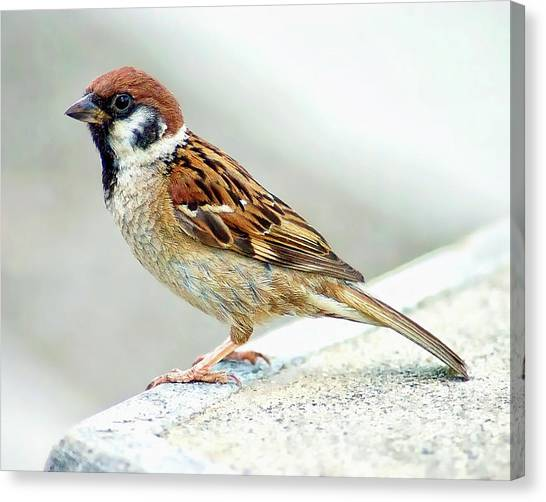Canvas Print featuring the photograph American Tree Sparrow by Anthony Dezenzio