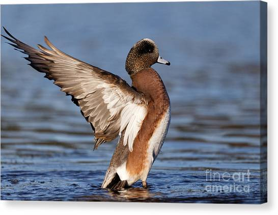 American Wigeon Delight Canvas Print
