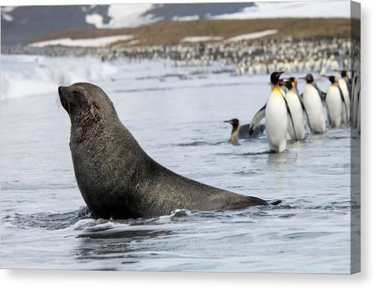 An Antarctic Fur Seal, Arctocephalus Canvas Print