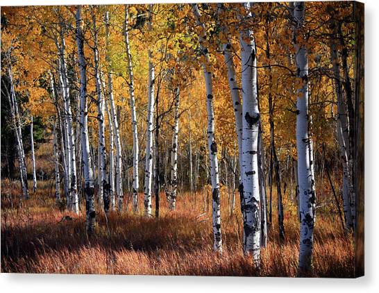 An Aspen Grove In Autumn With Orange Canvas Print by Denny35463