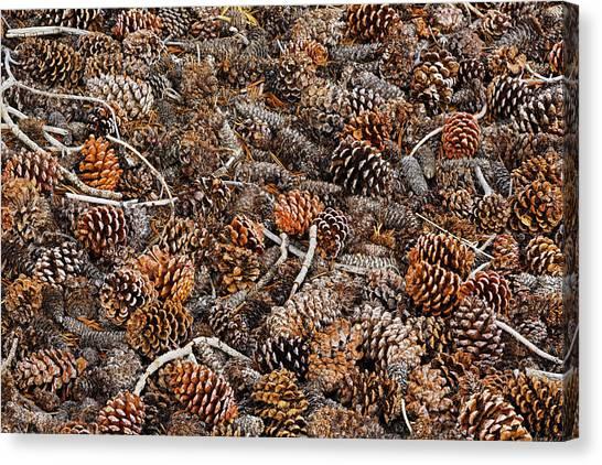 Ancient Bristlecone Pine Cones Canvas Print by Adam Jones