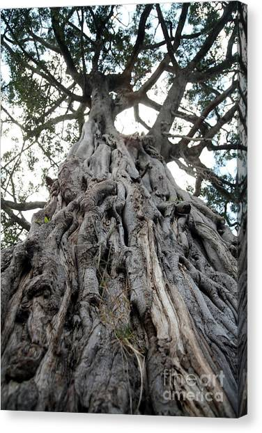 Southern Africa Canvas Print - Ancient Olive Tree In The Masai Mara by Paul Banton