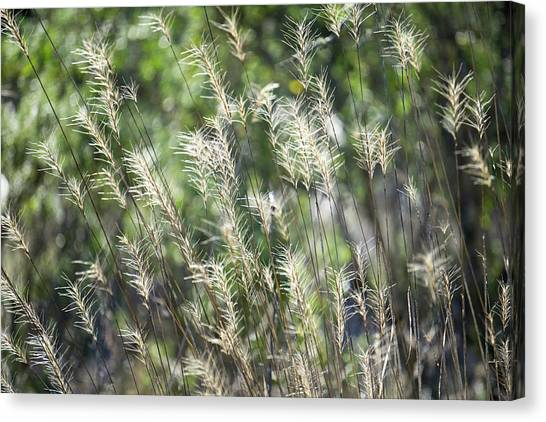 Annadel_grasses_548_18 Canvas Print