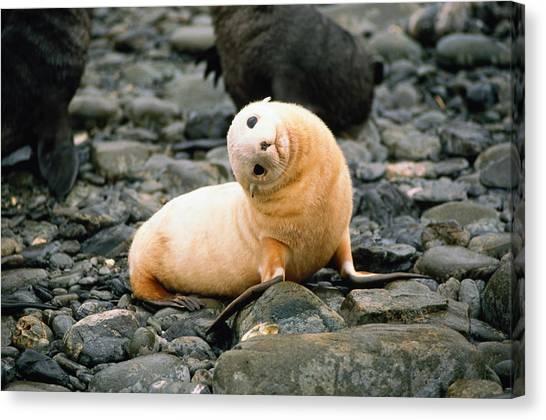 Antarctic Fur Seal Arctocephalus Canvas Print