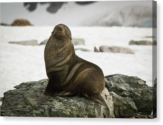 Antarctic Fur Seal Arctocephalus Gazella Canvas Print