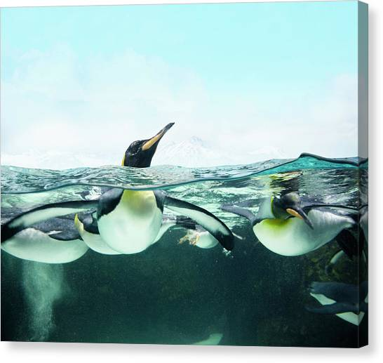 Arctic Penguins Canvas Print by Colin Anderson