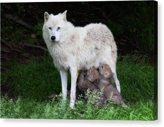 Arctic Wolf Pups Feeding Canvas Print by Jim Cumming