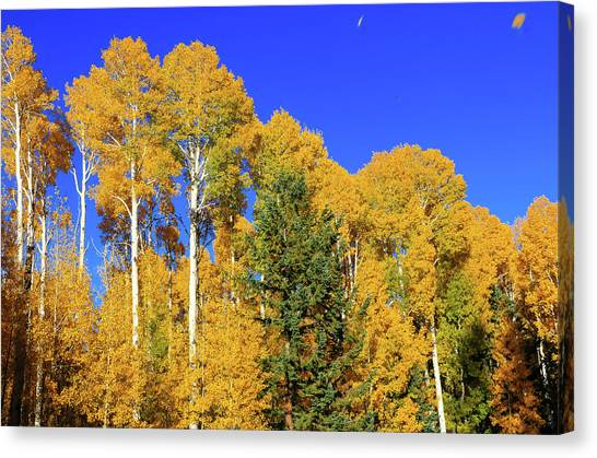 Arizona Aspens And Blowing Leaves Canvas Print
