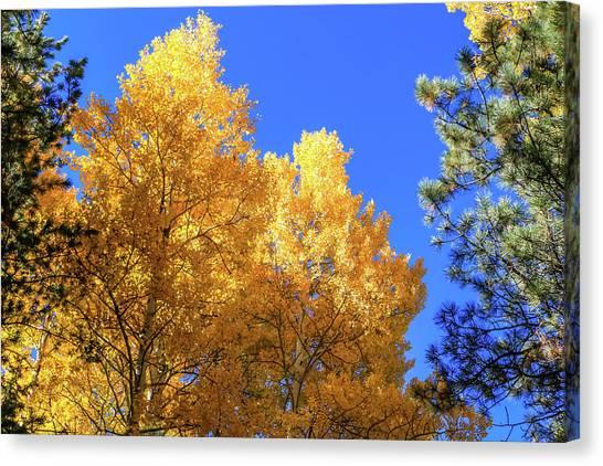 Arizona Aspens In Fall 2 Canvas Print