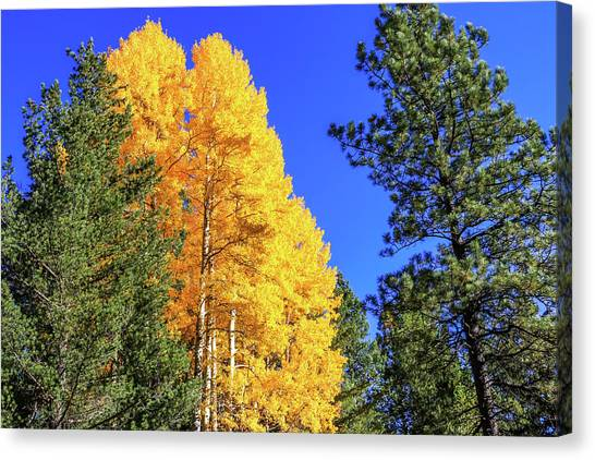 Arizona Aspens In Fall 4 Canvas Print