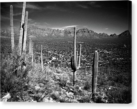 Arizona, Tucson, Saguaro Np, Brown Canvas Print