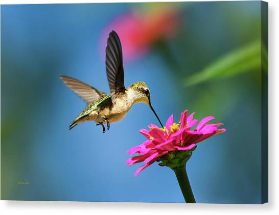 Canvas Print featuring the photograph Art Of Hummingbird Flight by Christina Rollo