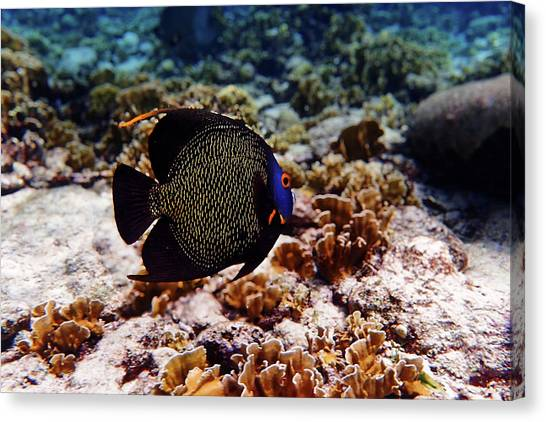 Canvas Print featuring the photograph Aruban French Angelfish by Lars Lentz