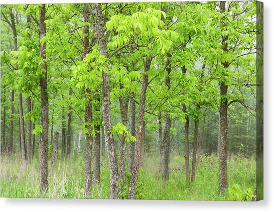 Thunder Bay Canvas Print - Ash Forest In The Fog by Susan Dykstra / Design Pics
