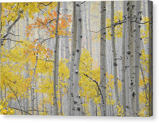 Aspen Forest Texture Canvas Print