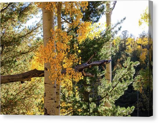 Aspen Tree Close Canvas Print