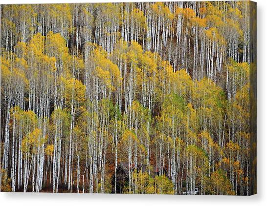 Aspen Tree Pattern Canvas Print
