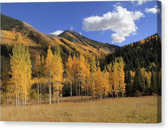 Aspen Trees In The Elk Mountains Canvas Print