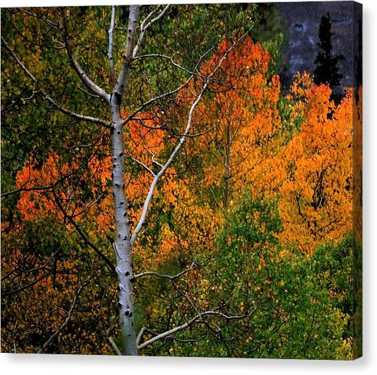 Aspens In Orange Canvas Print