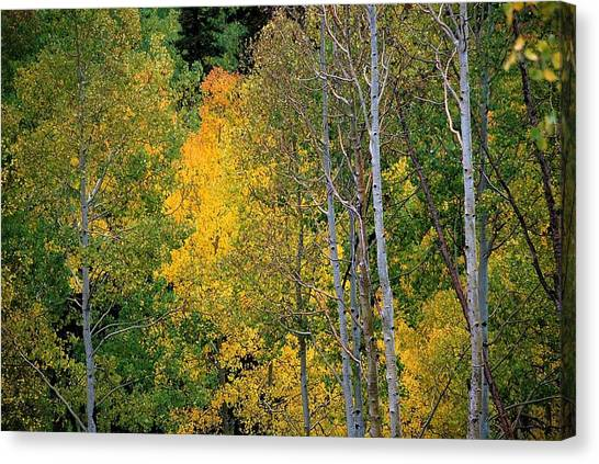 Aspens In Yellow Canvas Print