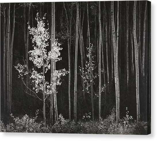 Aspens Northern New Mexico Canvas Print