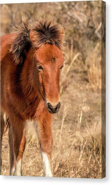 Canvas Print featuring the photograph Assateague Island Pony Foal by Kristia Adams
