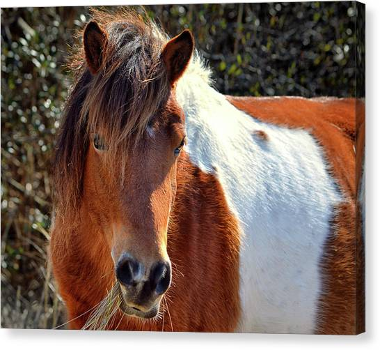 Canvas Print featuring the photograph Assateague Pinto Mare Ms Macky by Bill Swartwout Fine Art Photography