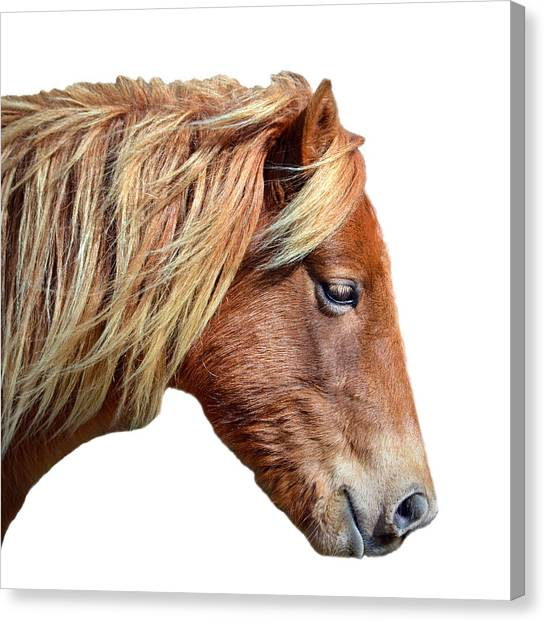 Canvas Print featuring the photograph Assateague Pony Sarah's Sweet On White by Bill Swartwout Fine Art Photography
