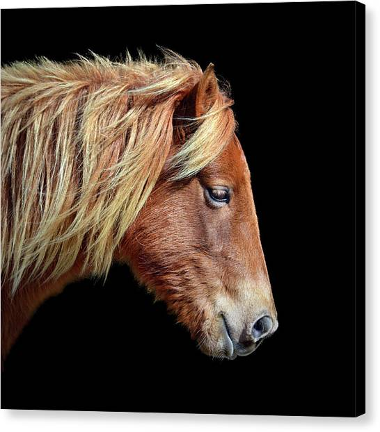 Canvas Print featuring the photograph Assateague Pony Sarah's Sweet Tea On Black Square by Bill Swartwout Fine Art Photography