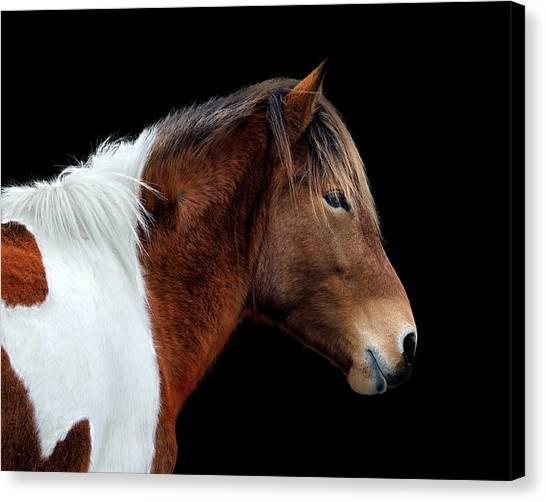 Canvas Print featuring the photograph Assateague Pony Susi Sole Portrait On Black by Bill Swartwout Fine Art Photography