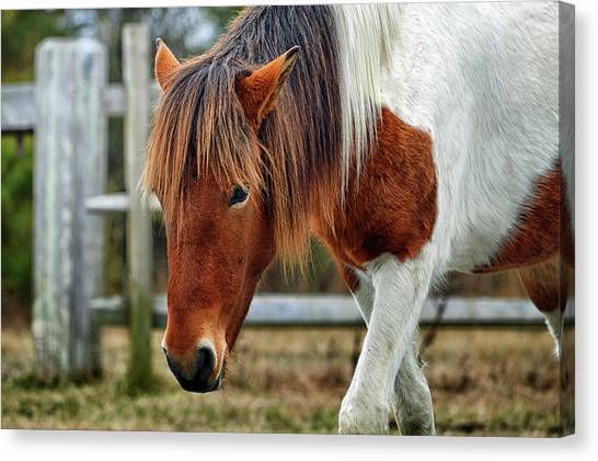 Canvas Print featuring the photograph Assateague Wild Horse Susi Sole N2bhs-m by Bill Swartwout Fine Art Photography