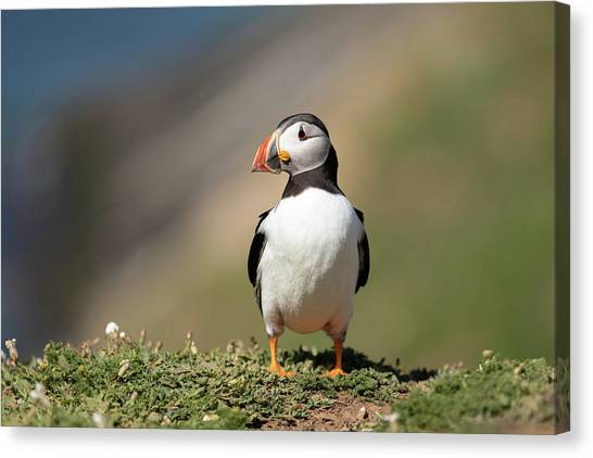 Canvas Print featuring the photograph Atlantic Puffin by Elliott Coleman