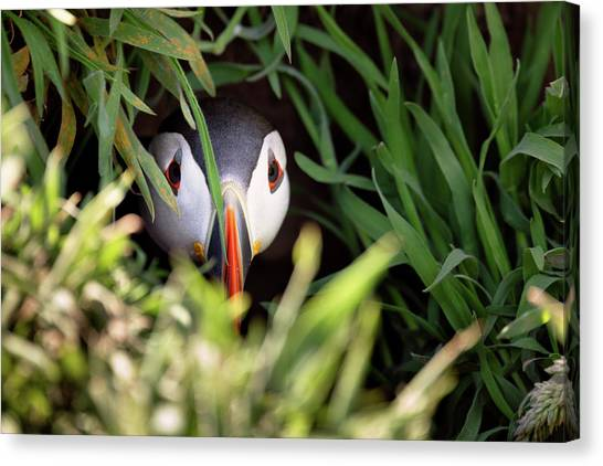 Canvas Print featuring the photograph Atlantic Puffin In Burrow by Elliott Coleman