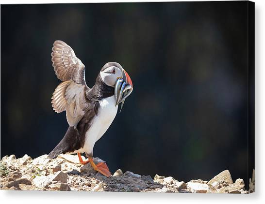 Canvas Print featuring the photograph Atlantic Puffin With Sand Eels by Elliott Coleman