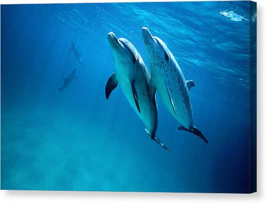 Atlantic Spotted Dolphins, Stenella Canvas Print by Tobias Bernhard
