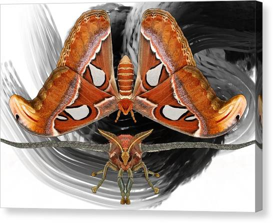 Canvas Print - Atlas Moth8 by Joan Stratton