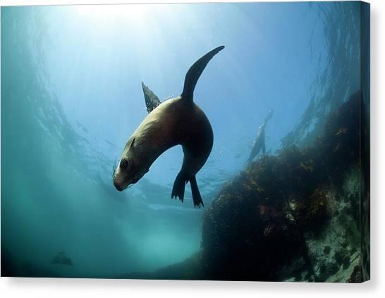 Australian Fur Seal  With Sun Burst Canvas Print