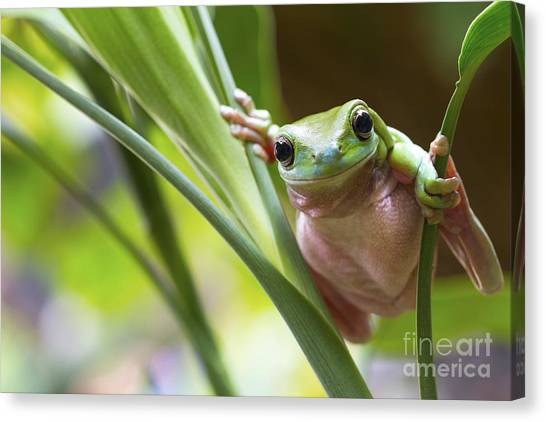 Australian Green Tree Frog On A Leaf Canvas Print by Andrew Lam