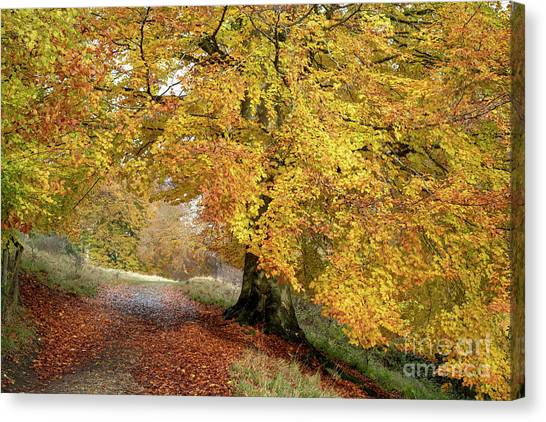 Autumn Beech Walk Canvas Print by Tim Gainey