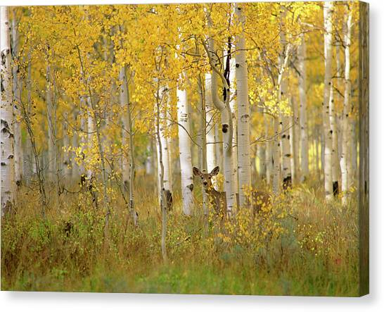 No-one Canvas Print - Autumn In Uinta National Forest. A Deer by Mint Images - David Schultz