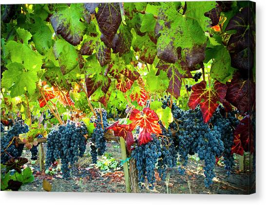 Sonoma Valley Canvas Print - Autumn Leaves In Vineyard  With Grapes by Seanfboggs