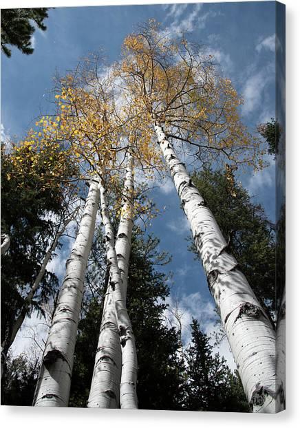 Autumnal Aspen Canvas Print