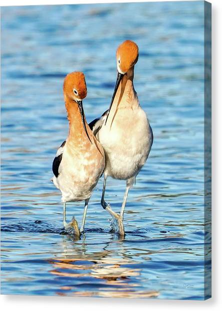 Avocet Dance Canvas Print