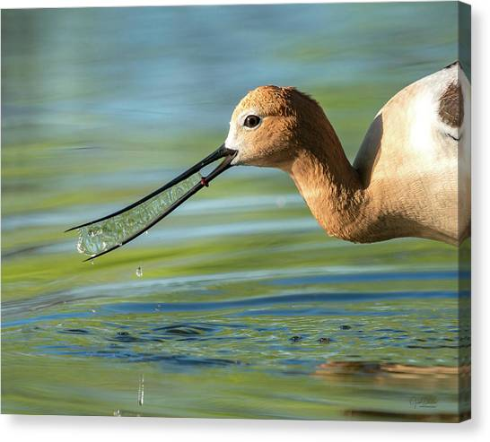 Avocet Magic Canvas Print